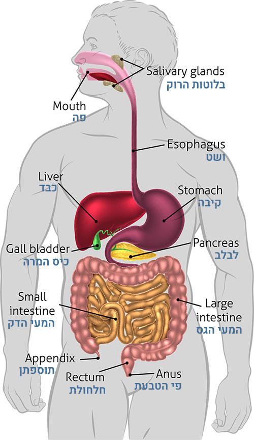 מבנה מערכת העיכול | מכון גסטרו במרכז הרפואי בסט מדיקל